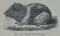 Picture Natural History - No 37 - The Guinea-pig.png