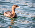 Pied-billed Grebe, non-breeding plumage (38234334342).jpg