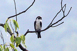 Pied Falconet (8077176535).jpg
