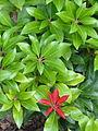Pieris japonica (Mountain Fire).jpg
