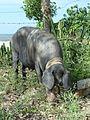 Pig in Cuba.jpg
