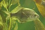 Pile Perch, Kelp Forest, Baltimore aquarium.jpg