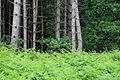 Pine plantation at Theydon Mount Essex England 03.jpg