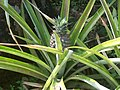 Pineapple growing.jpg