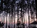 Pines evening.JPG