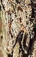Pinnow Dendrolimus pini Gradation 10.JPG