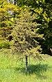 Pinus banksiana (arboretum du vallon de l'Aubonne).jpg