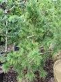 Pinus cembra Pygmaea 1zz.jpg