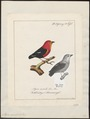 Pipra aureola - - Print - Iconographia Zoologica - Special Collections University of Amsterdam - UBA01 IZ16600187.tif