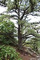 Pitch Pine at Pinnacle Rock 3.jpg