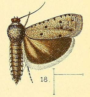 <i>Phycodes</i> genus of insects