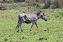 Plains zebra in Mlilwane Wildlife Sanctuary 01.jpg