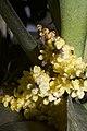 Plants Pomatocalpa spicata IMG 8294 08.jpg