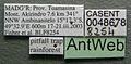 Platythyrea bicuspis casent0048678 label 1.jpg