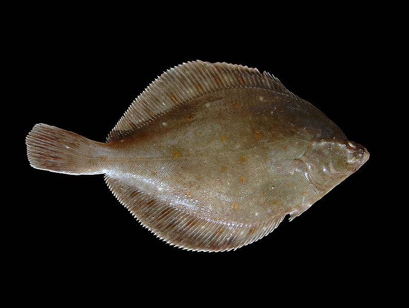File:Pleuronectes platessa.jpg