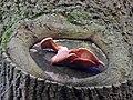 Pleurotus ostreatus 107442259.jpg