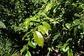 Plinia cauliflora kz03.jpg