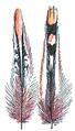 Plume de coq de sonnerat - (Millot-1907).png