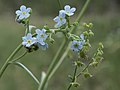 Poison Canyon stickseed, Hackelia brevicula (26122369948).jpg