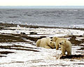 Polarbearsfamily.jpg