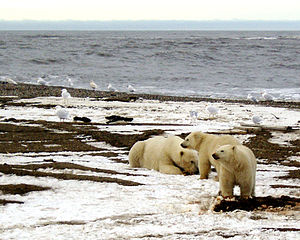 Wildlife of Alaska - Polar bears on the Beaufort Sea coast.