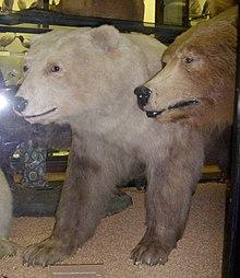 Brown Bear Polar Hybrids Edit