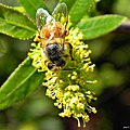 Pollen Dusted Bee & Blooming Willow (Salix caroliniana) (6738986329).jpg