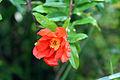 Pomegranate flower bloomed (3).JPG