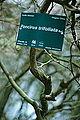 Poncirus trifoliata-DSC 7306.jpg