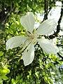 Poncirus trifoliata - Isola Madre (Stresa) - DSC03273.JPG