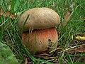 Popowo Ignacewo (3) fungi.jpg