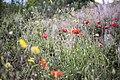 Poppies and yellow flowers (Unsplash).jpg