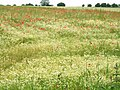 Poppies in Field north of Spilsby Hill - geograph.org.uk - 497171.jpg