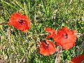 Poppies in arable land near Newton - geograph.org.uk - 490463.jpg