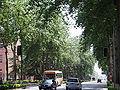 PopulusCanadensisTrees2.jpg
