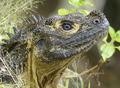 Portrait of Hydrosaurus microlophus, male, Bengo Bengo.png