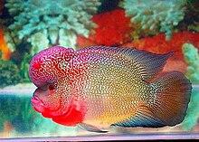 Ikan Lou han jenis Galur Elvis