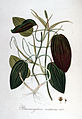 Potamogeton natans — Flora Batava — Volume v6.jpg