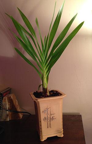 Grammatophyllum speciosum - A relatively small Grammatophyllum speciousum in a tall clay Chinese orchid pot for Oncidiums.