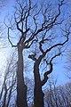 Praha, Stodůlky, Cibulka, památný strom XII.jpg