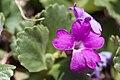 Primula hirsuta-4584 - Flickr - Ragnhild & Neil Crawford.jpg