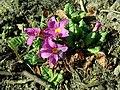 Primula juliae 2019-03-08 6562.jpg
