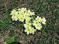 Primula vulgaris 2.JPG