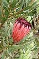 Protea laurifolia kz2.jpg