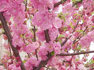 PrunusPersica4.jpg