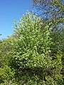 Prunus mahaleb sl24.jpg