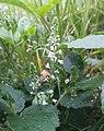 Prymasowa Wola (plant).jpg