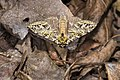 Pseudosomera noctuiformis yunwu (38717586050).jpg