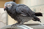 A grey parrot with a white mask. The dark bill has a lighter colouring on the upper mandible.