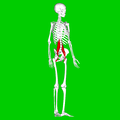 Psoas major muscle02.png